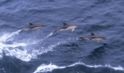 Dolphins at play.  Photo Courtest CMRC